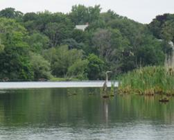 Blue heron waits at Spy Pond on Aug. 3, 2014.