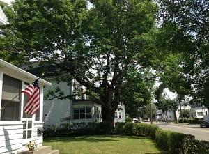 Ash tree, 140 Warren St. / Jo Anne Preston photo